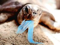 Tortuga comiendo bolsa plástica