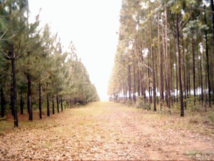 Plantación de pino en Carimagua, año 2005